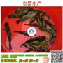 广东黄肭丁、二胡子热销鱼苗批发湖南黄骨鱼苗多少钱图片