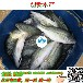 鱼苗孵化养殖基地/大嘴鲈鱼苗/黑鲈鱼苗/鲈鱼苗品种_创新水产