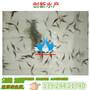 鱼苗鸭嘴鱼苗_广东清远鸭嘴鱼苗多少钱图片