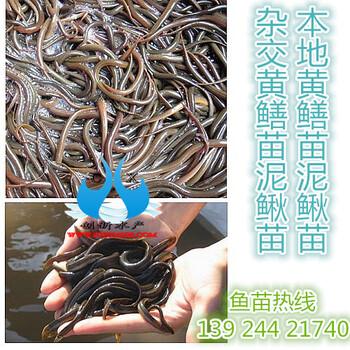 台湾泥鳅苗