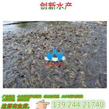 黄颡鱼苗,全雄黄颡鱼苗,杂交黄颡鱼苗图片