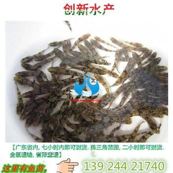 笋壳鱼苗批发广东创新水产笋壳鱼3公分新苗价格
