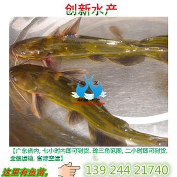 黄颡鱼_黄颡鱼苗价格