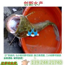 鱼苗,鱼苗价格,鲶鱼苗批发,鲶鱼苗品种供应图片