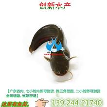 鲶鱼苗品种,鲶鱼苗批发,贵州鲶鱼苗多少钱一条图片