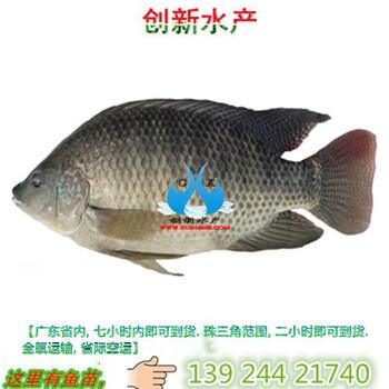莫桑比罗非鱼苗批发广东罗非鱼苗批发全年供应罗非鱼苗