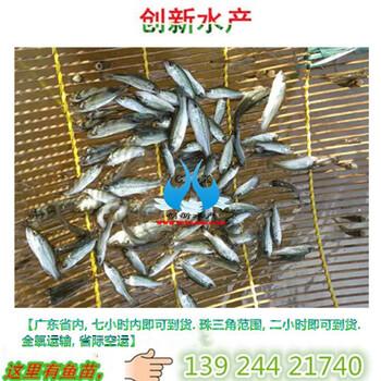现供应鲈鱼苗,现供应加洲鲈鱼苗,倍投法效益理想
