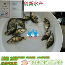 湖南桂花鱼苗湖南桂花鱼苗供货商广东港兴水产鱼苗养殖有限公司