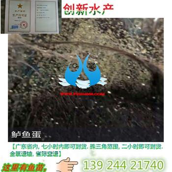 鲈鱼苗广东水产鲈鱼苗,广东鲈鱼苗,广东鲈鱼水花苗出售AA级约3g身长约1-8cm鲜活鱼苗
