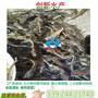 特别推荐鱼苗芝麻剑鱼苗西江钳鱼苗斑饥极鱼苗大量出售图片