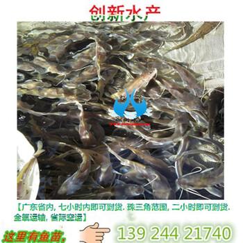 特别推荐中高档鱼苗芝麻剑鱼苗西江芝麻剣鱼苗斑饥极鱼苗大量出售