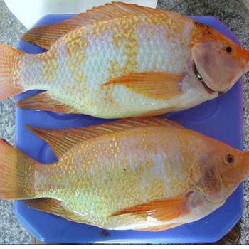 红斑鱼苗港兴水产罗非鱼苗多少钱一公斤红罗非鱼苗一公斤多少条