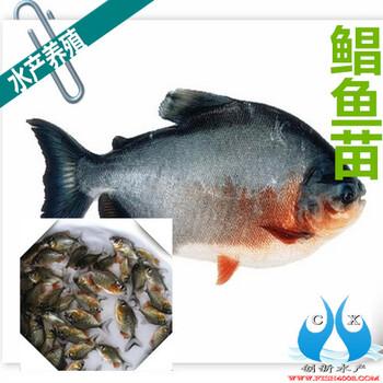 鲳鱼苗白鲳鱼苗广东5-6公分鲳鱼苗批发价格港兴水产鱼苗批发好选择