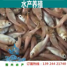 大头鳙鱼苗缩骨大头鱼苗批发广东港兴水产大头鱼苗
