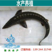 鸭嘴鱼苗供应,3-6公分广东鸭嘴鲟鱼苗,求购湖南中华鲟鱼苗价格
