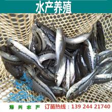 鲈鱼苗批发价格3-5w公分鱼苗批发价格