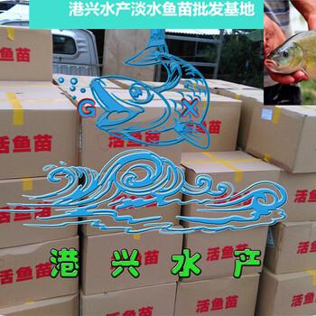 广东鳗鱼苗批发鱼苗品种日本鳗欧洲鳗白鳗韩国鳗