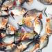 各地淡水白鲳鱼苗价格-养殖·孵化场采购鱼苗价格-水老虎鱼苗超低价批发