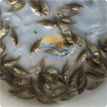 中下层鱼类,宝石鲈鱼苗投喂技术,养淡水鱼苗赚钱图片