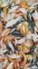 全国派送鲜活种苗-观赏鱼苗·优质锦鲤鱼苗·清道夫鱼
