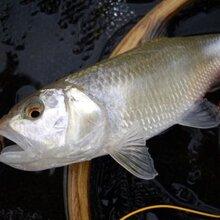 鱼苗-扯口婆鱼价格-各地养殖·孵化场采购价格-河豚鱼苗超低价批发图片