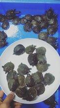 共享养殖技术-中华甲鱼鱼苗-黑甲鱼苗报价,有图图片