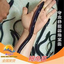 来自港兴水产养殖基地-淡水鳗鱼苗-条条健壮-各地鱼苗批发图片