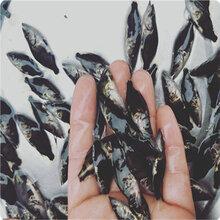 中下层鱼类,共享桂花鱼苗喂食经验,这样养鳌花鱼赚钱图片