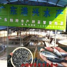 优质下层鱼类,共享野生芝麻剑鱼苗养殖经验,鮰鱼这样养图片