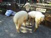 上海哪里有羊驼租赁租羊驼展示租一天羊驼什么价格神兽哪里租神兽租赁上海租神兽