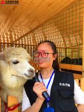 小动物租赁上海租羊驼羊驼展览展示浙江租赁羊驼萌宠展示租赁鸵鸟养殖