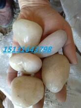 唐山白色机制卵石报价永顺白色鹅卵石厂家白色雨花石价格图片