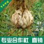 惠果康龙牙百合种球图片