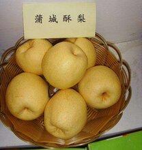 蒲城酥梨早酥梨瓜果代办电话图片