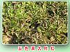 五色草批发五色草种苗五色草造型销售