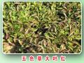 五色草批发五色草种苗五色草造型销售图片