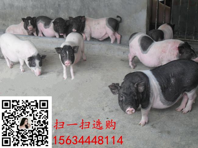 泰国小香猪
