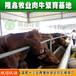 出售良种肉牛育肥牛架子牛肉牛价格