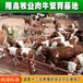 西门塔尔鲁西黄牛牛犊育肥牛