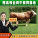 西门塔尔牛牛犊养殖场西门塔尔牛牛犊多少钱养殖牛