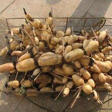 淺水藕種苗淺水藕種植成本與產量豐荷蓮藕種植基地圖片