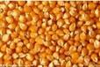 现款求购:玉米、小麦、大麦、高梁、大豆等
