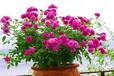 盆花月季价格贵不贵