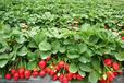 山西采摘太原采摘太原周边采摘太原草莓采摘水果采摘就来天怡山农业生态园