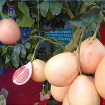 红心蜜柚苗销售
