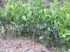 茂谷柑和沃柑哪个好吃福建茂谷柑苗茂谷柑要几年才有收成