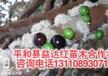 辽宁省大连市益达合作社台湾树葡萄哪个台湾树葡萄的危害
