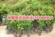 东莞市10年树葡萄价格查询