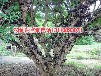 山西省运城市嘉宝果8年树哪里好嘉宝果8年树零售低价