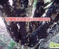 重庆嘉宝果树苗南方四季规格